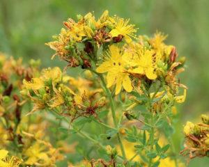 Зверобой - лекарственное растение используется в народной медицине