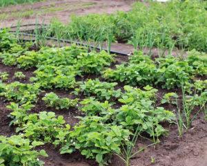 Огород в начале июля - высаживание рассады и полив