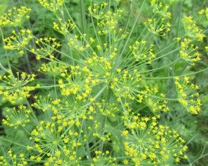 Уроп - пряное растение, полезное, вкусное, обладает лечебными свойствами