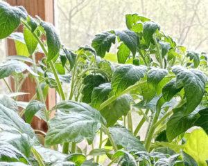 Рассада томатов - крепкая,сильная рассада залог хорошего урожая