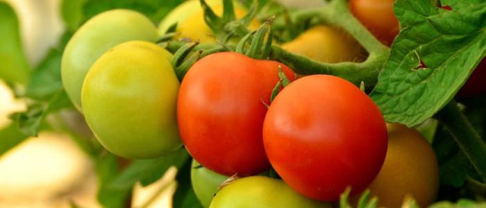 томаты или помидоры