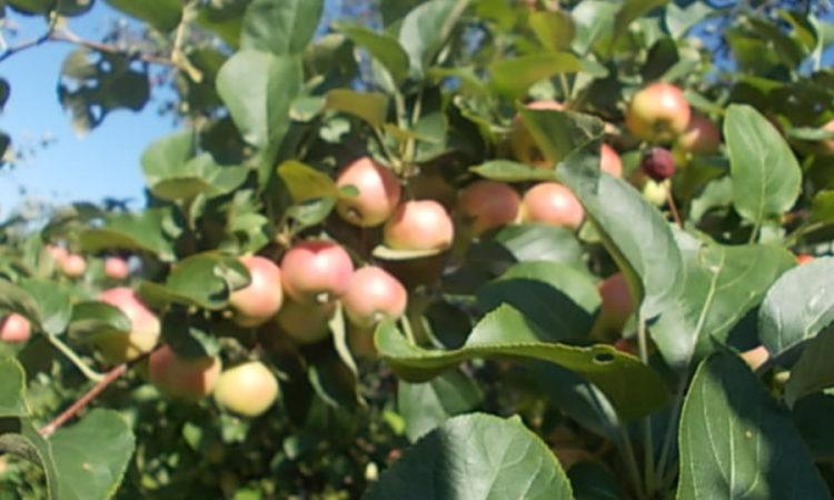 ранетки - мелкоплодные яблочки