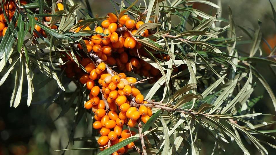 ягоды облепихи1