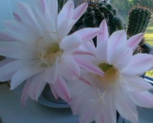Красивый кактус цветет на окне коллеги,коллега - кактусист, это хобби