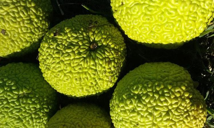 Маклюра или китайский апельсин или адамово яблоко, целый набор полезных веществ, применяется в народной медицине