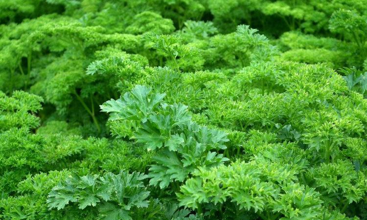 Полезная, вкусная, пряная и лечебная трава - петрушка, пользуется заслуженно большой популярности
