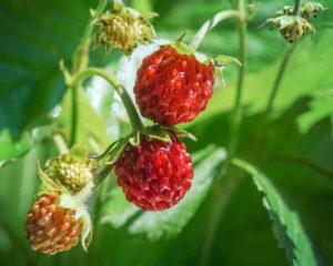 Клубника - одна из популярных и полезных ягод, выращиваемых в Сибири