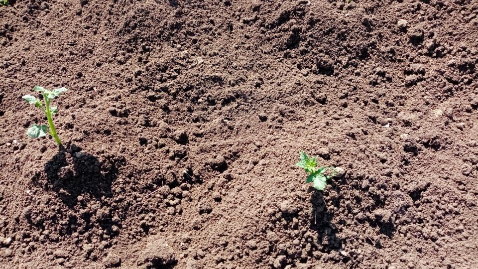 Рассада картофеля высажена в грунт